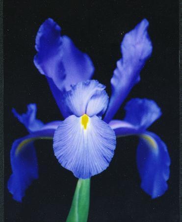 Photographing Irises